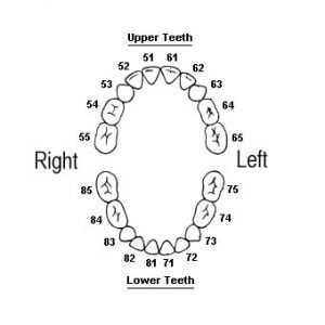 Primary or Baby teeth are also split into quadrants for numbering.