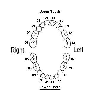 australian teeth numbers for baby teeth